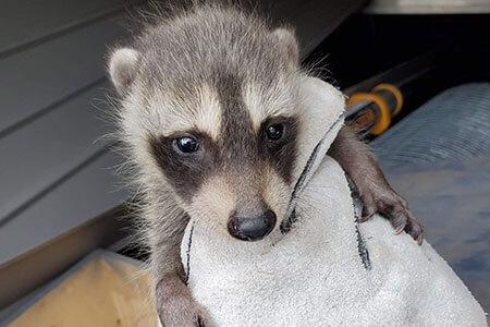 Houston Raccoon Removal